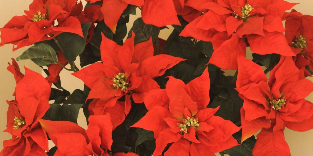 Poinsettia care tips: 7 golden rules to follow