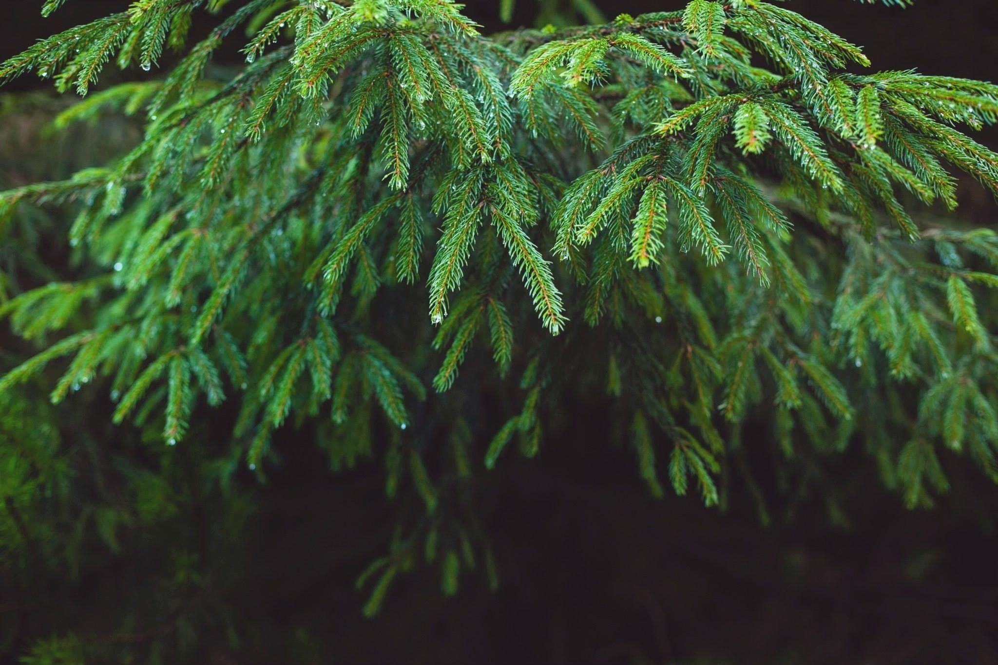 Close Up Of Fir Tree