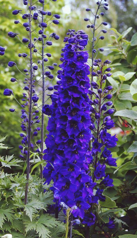 Close-Up Of Blue Delphinium Flowers