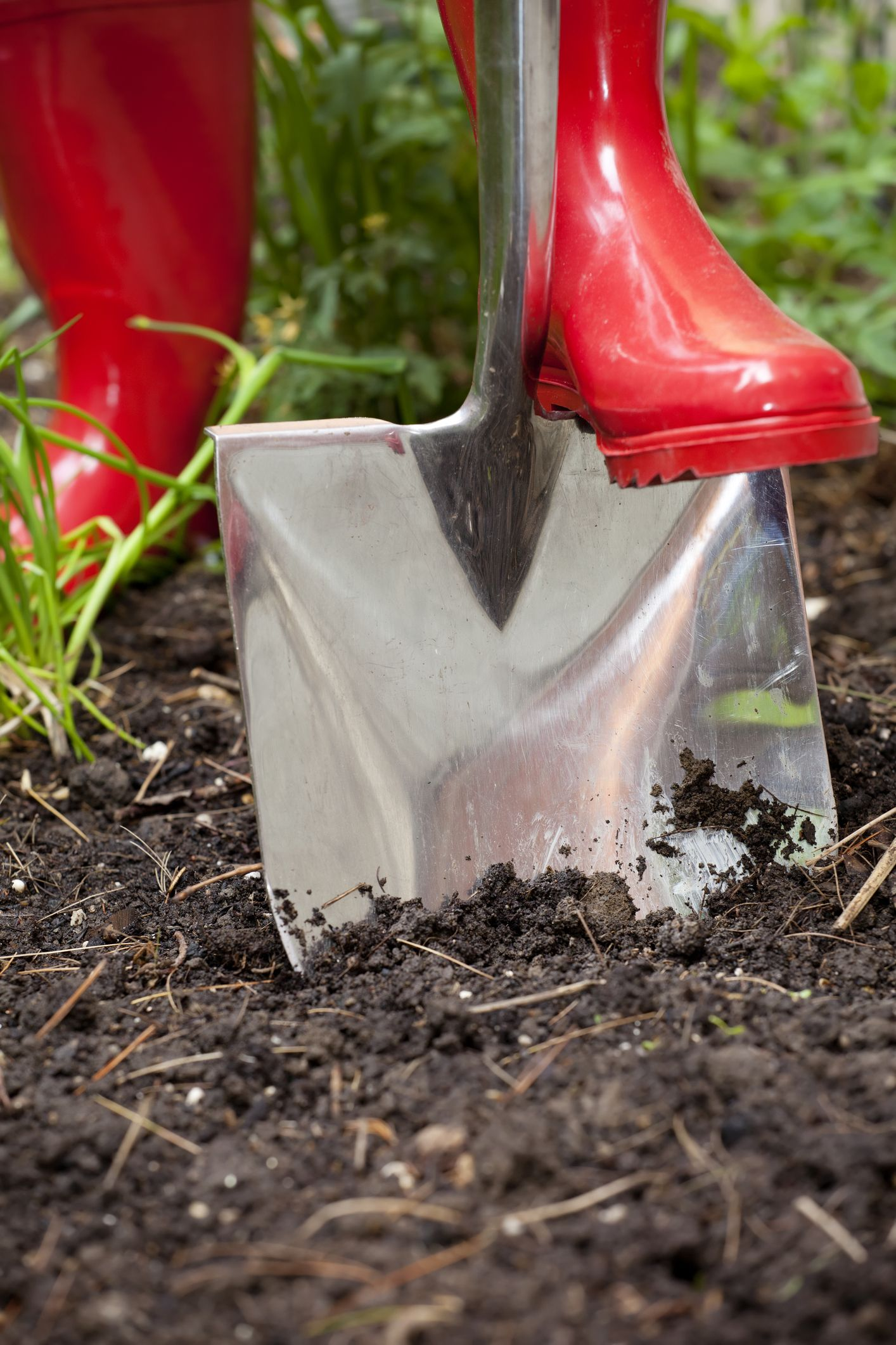 A shovel pushed by a gardener in red rubber boots digs into rich black soil in a vegetable garden