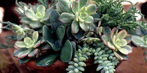 Succulent arrangement - tabletop gardens