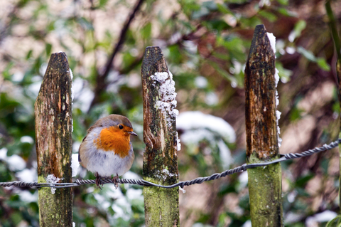 Robin standing on a garden fence in winter.