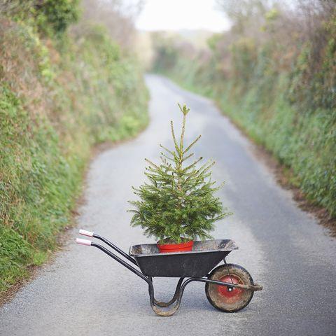 Christmas tree in wheelbarrow