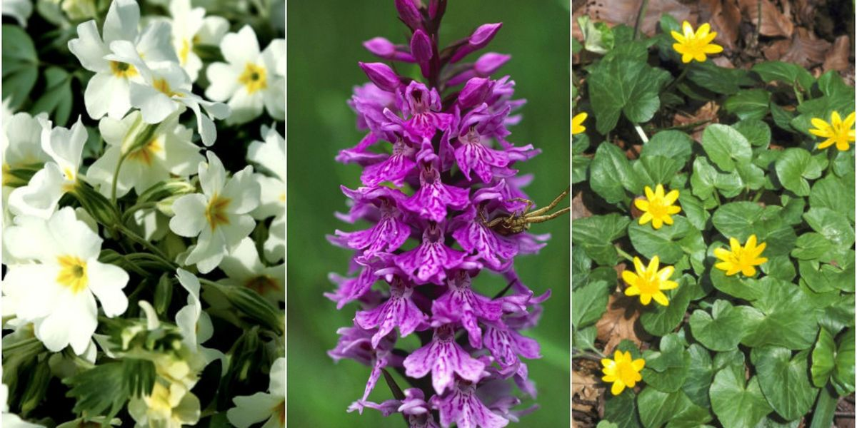 7 wild spring flowers to spot as early as January