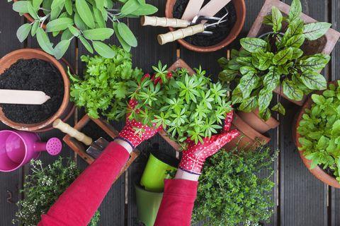 Gardening, potting medicinal and kitchen plants