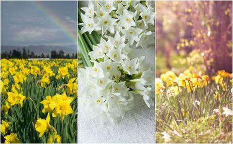 Daffodils collage