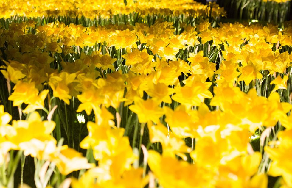 daffodils in the dark