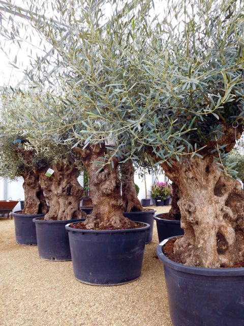 This is why you need olive trees in your home and garden for Olive trees in pots winter care