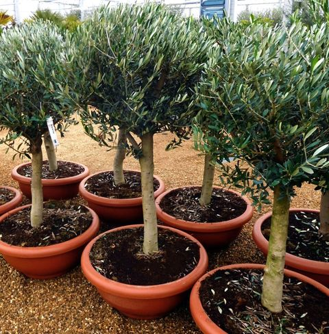 Olive Trees Grove Oundle Standard 5ft Tree