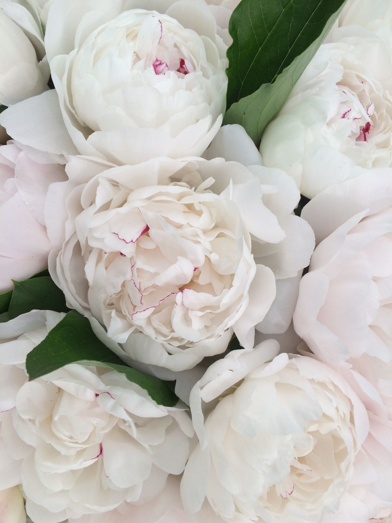 White peonies - luxurious flowers in your flower bed