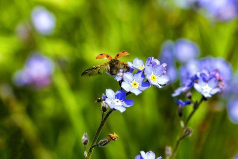 Ladybird taking off
