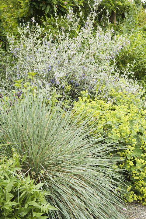 Blue oat grass, bush germander, and lady's mantle