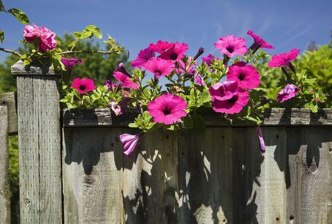Petunia on old wooden fence (Petunia x hybrida Purple Wave)