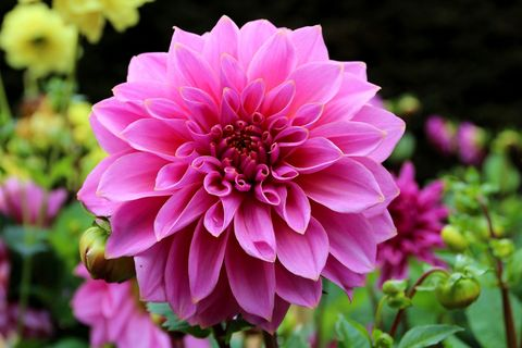 Close-Up Of Pink Dahlia Blooming At Park