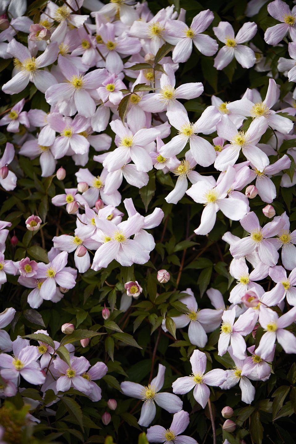 Looking For A Climbing Plant With Lots Of Colour 10 Things You Should Know About Clematis