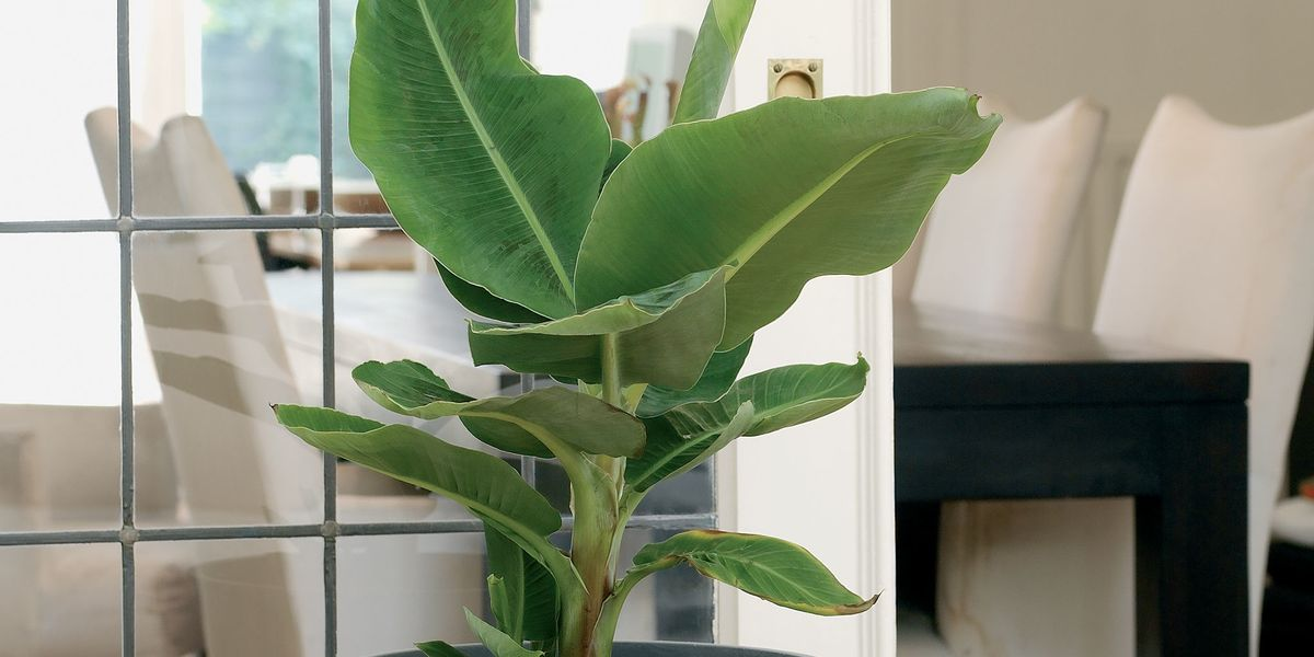 Pictures Of Banana Tree Plants