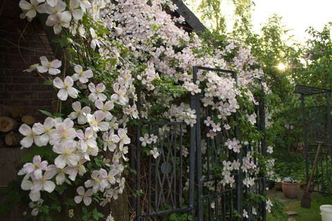 Clematis Flowers On House In Back Yard