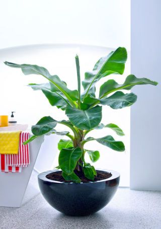 Banana trees: 10 buying and caring tips for these exotic houseplants