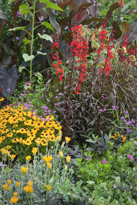 Mixed border including black eyed susans (Rudbeckia hirta) 'Toto Lemon', purple fountain grass (Pennisetum setaceum) 'Rubrum', cardinal flowers (Lobelia cardinalis) and gazanias (Gazania)