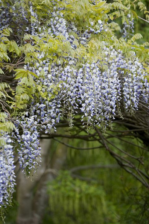 Wisteria at Monk's House, East Sussex