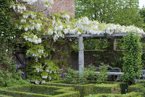 Wisteria venusta at Sissinghurst