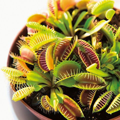 At Home With Plants by Ian Drummon and Kara O'Reilly - Venus fly trap, Dionaea muscipula