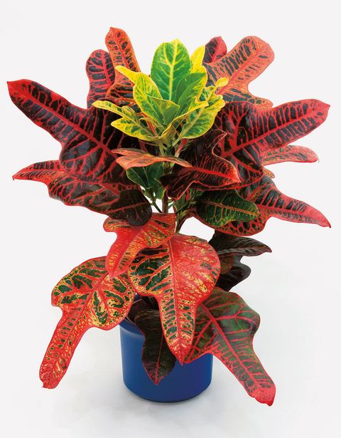 Croton/ Joseph's coat - At Home With Plants by Ian Drummon and Kara O'Reilly