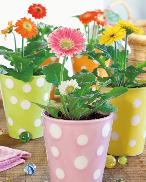 at home with plants by ian drummon and kara o'reilly   gerbera jamesonii, barberton daisy