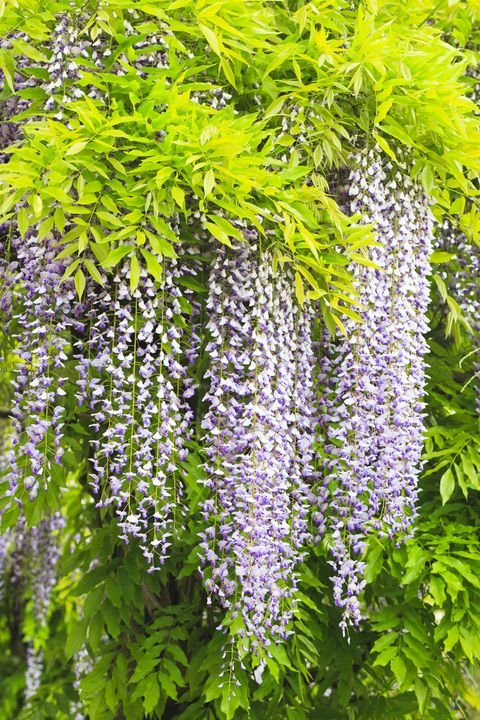 Wisteria Planting Pruning And How To Avoid Poor Flowering And