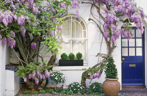 Wisteria Planting Pruning And How To Avoid Poor