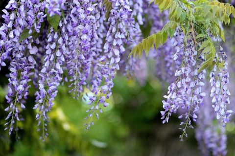 Wisteria, from £26, available at Wyevale Garden Centres