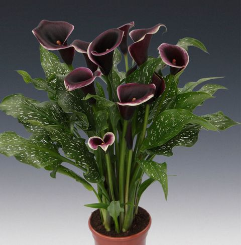 RHS Chelsea Flower Show: Brighter Blooms Zantedeschia Dubai Nights