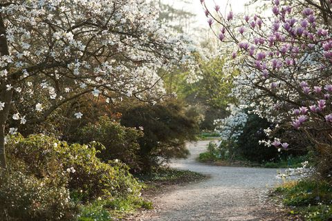 Magnolia trees at RHS Garden Wisley