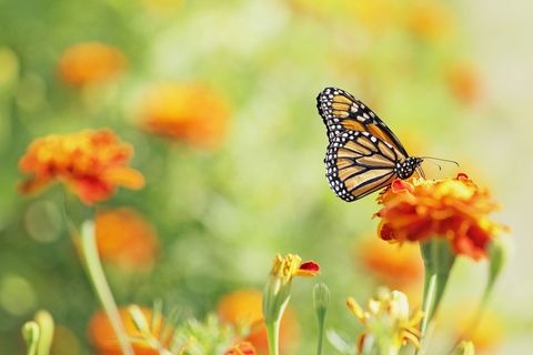 Monarch Erfly On Marigold Flower