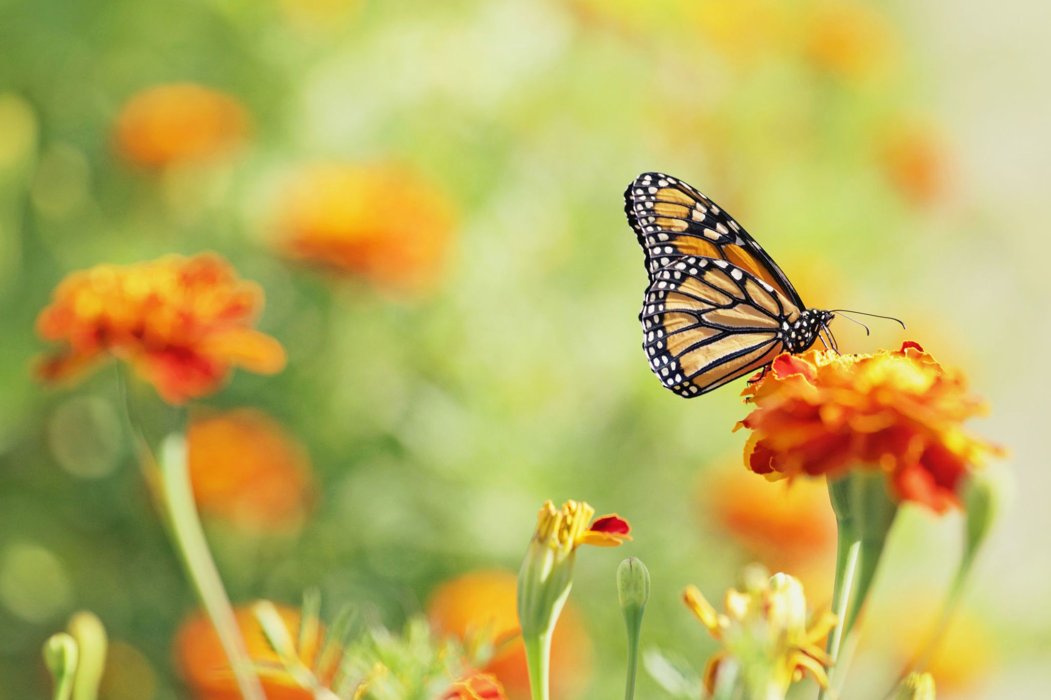 Monarch Butterfly On Marigold Flower