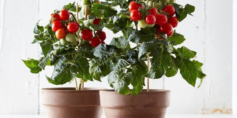 Tesco to sell bargain indoor tomato plant