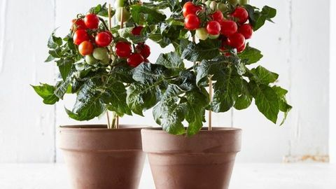 tesco sell bargain 4 indoor tomato plant that produces 150 juicy