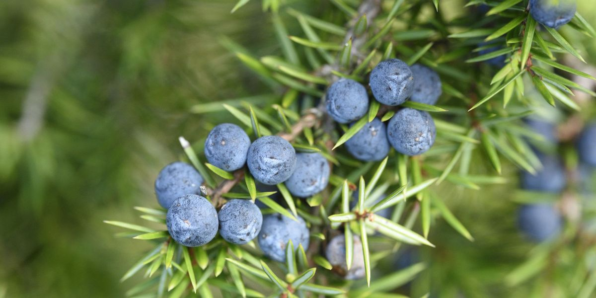 How To Grow Your Own Gin At Home Juniper Berries