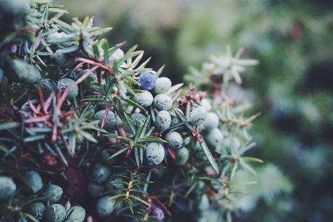 Close Up Of Fresh Juniper Berries Twigs