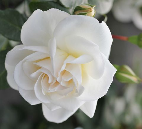 New roses to debut at the Hampton Court Palace Flower Show: Little Angel Fryer's Roses