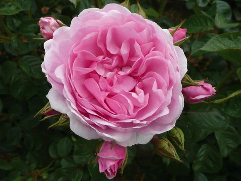 New roses to debut at the Hampton Court Palace Flower Show: Oxana bred by Dickson Intro by Apuldram Roses