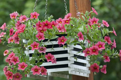 Hanging basket with trailing petunias (Calibrachoa) 'Million Bells'