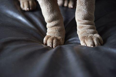 Dog paws on sofa