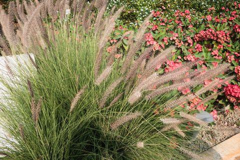 Ornamental Grasses Ontario Best ornamental grasses for your garden pennisetum ornamental grass workwithnaturefo