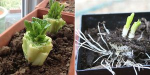 vegetables you can eat and grow again