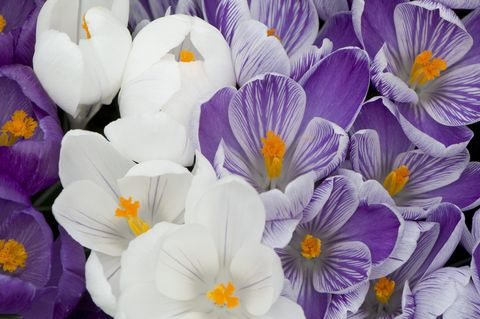 crocus flower record   close up of crocus vernus hybrids flower record, jeanne d'arc and pickwick