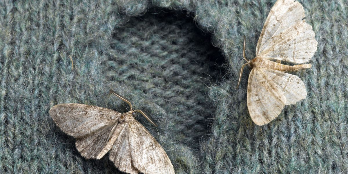 How To Get Rid Of Moths Clothes Moths