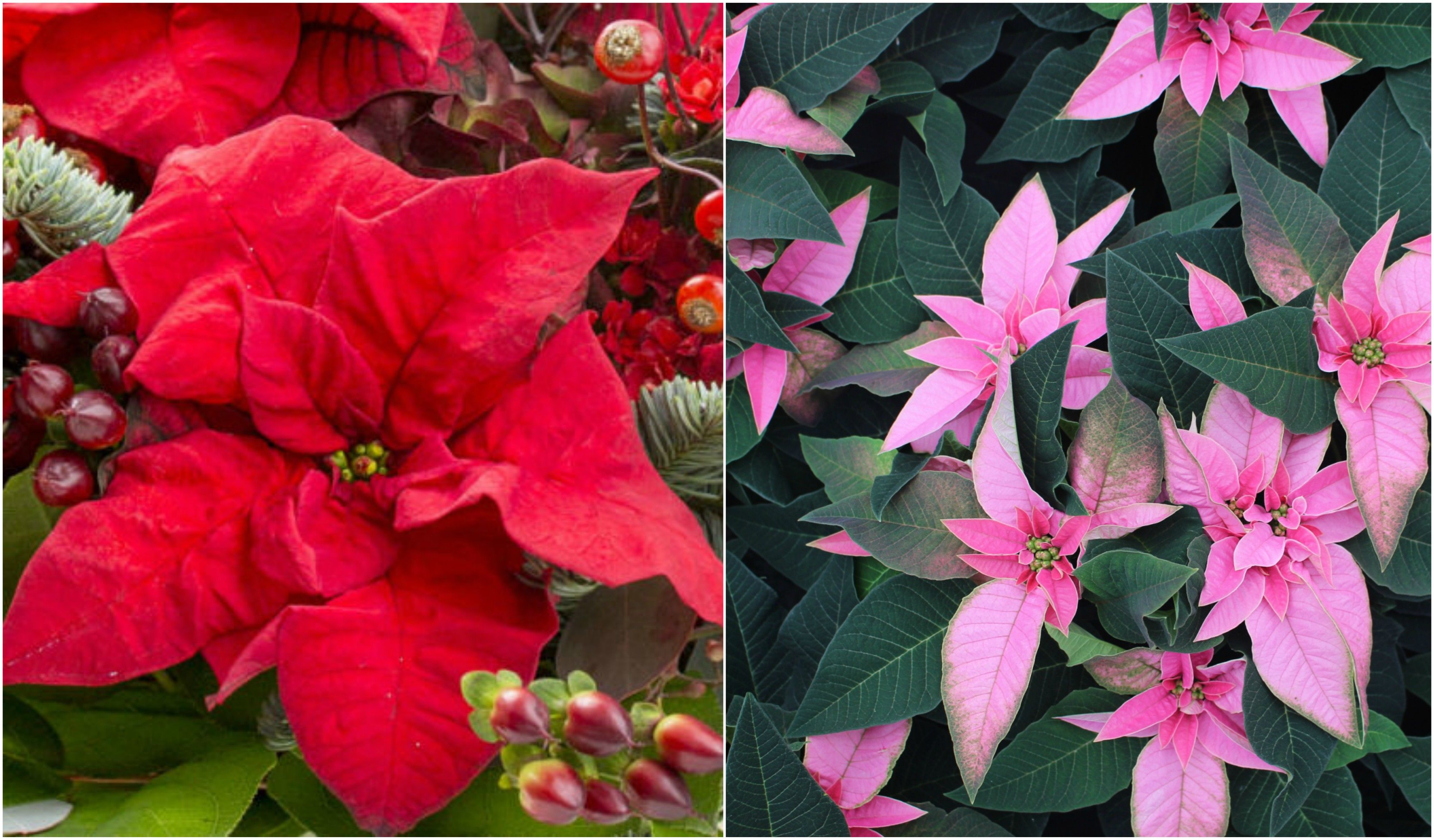 christmas plant poinsettia is now available to buy in millennial
