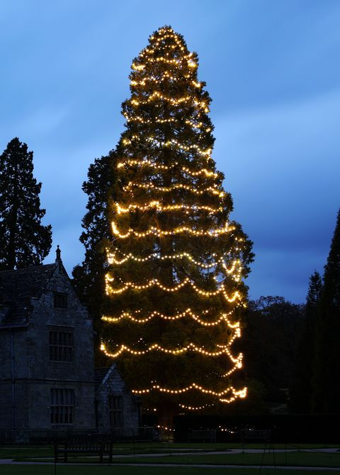 britains biggest christmas tree is decorated for the festive season wakehurst at haywards heath - Biggest Christmas Tree