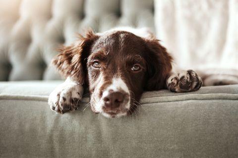 Dog, Mammal, Vertebrate, Canidae, Dog breed, Carnivore, Small münsterländer, Spaniel, Sporting Group, German longhaired pointer,